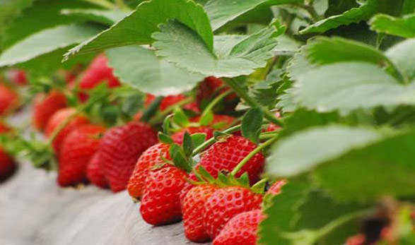 Management matters after strawberry planting